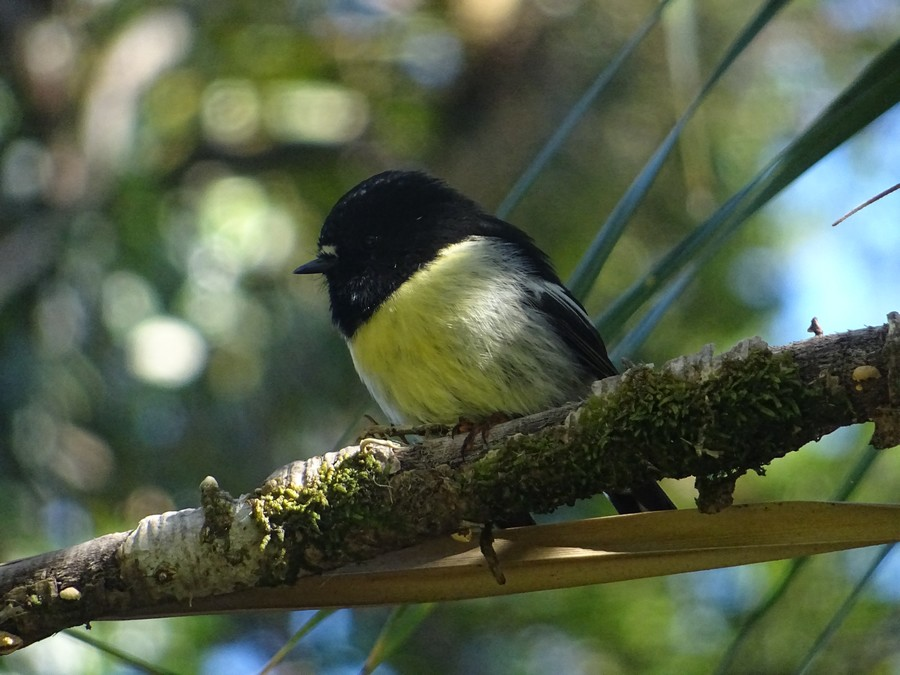 Tomtit - Nouvelle Zélande native bird